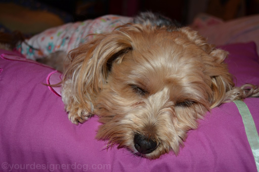 dogs, designer dogs, yorkipoo, yorkie poo, sleepy puppy, dog pajamas