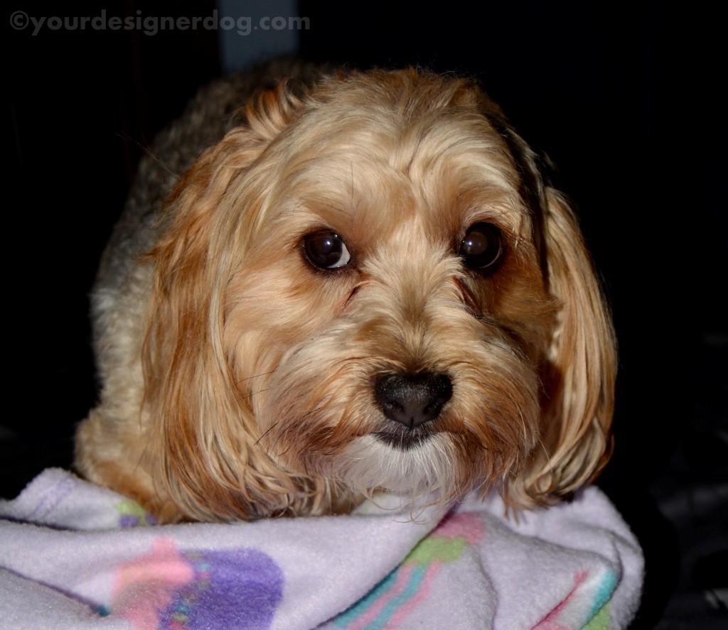 dogs, designer dogs, yorkipoo, yorkie poo, warning, temper tantrum