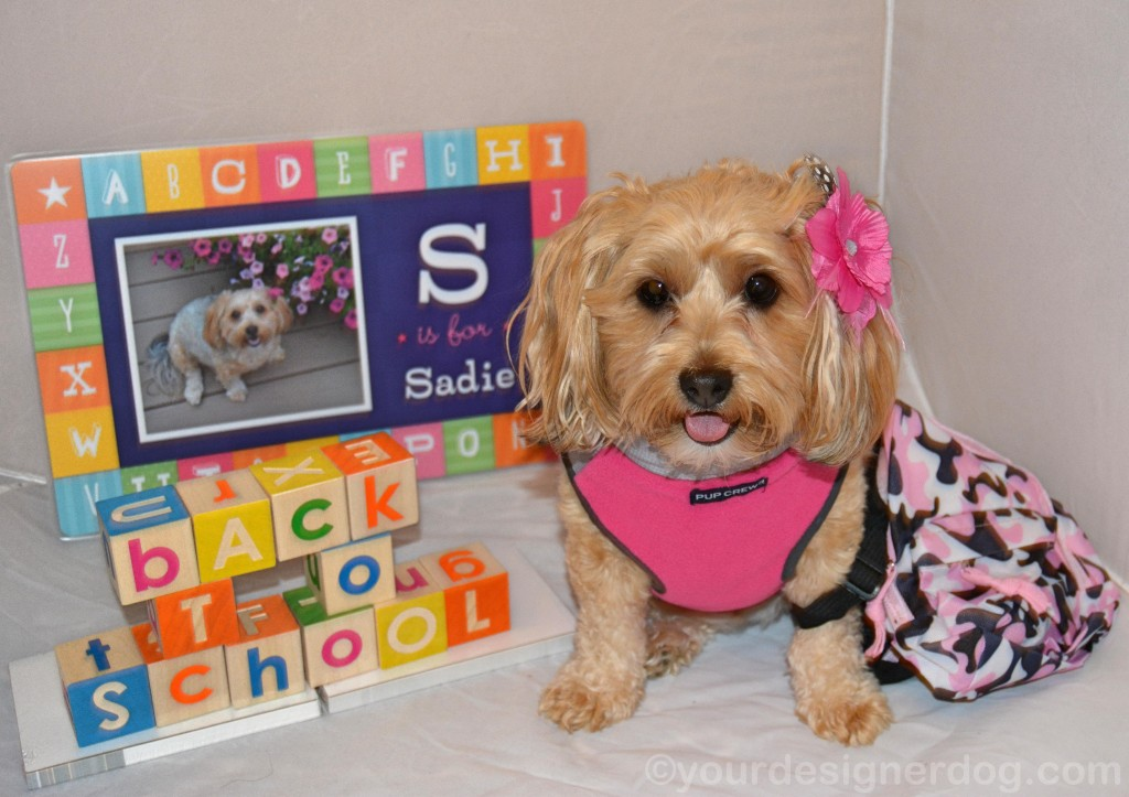 dogs, designer dogs, yorkipoo, yorkie poo, back to school