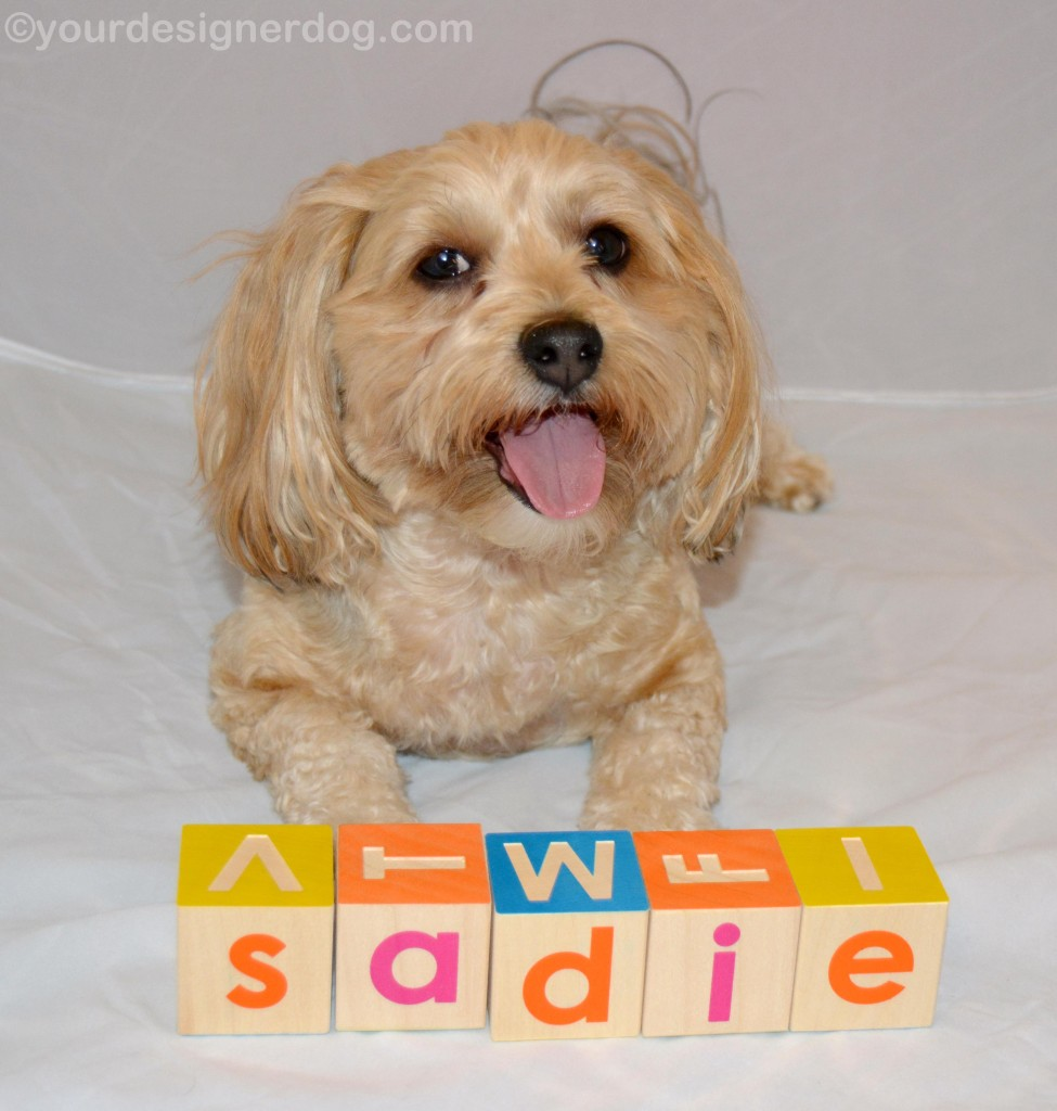 dogs, designer dogs, yorkipoo, yorkie poo, blocks, tongue out