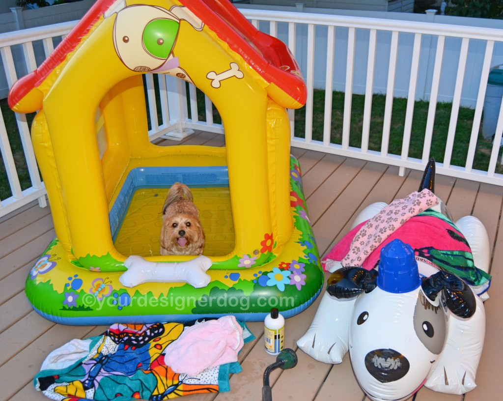 dogs, designer dogs, yorkipoo, yorkie poo, dog house, pool, bath