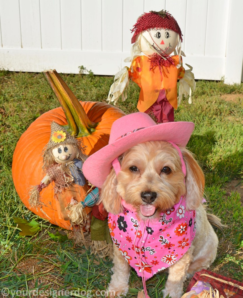 dogs, designer dogs, yorkipoo, yorkie poo, fall, scare crows, pumpkins, cowboy