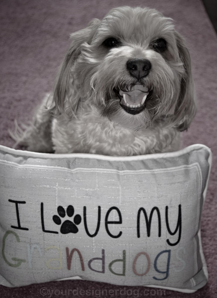 dogs, designer dogs, yorkipoo, yorkie poo, grandparents day, black and white photography