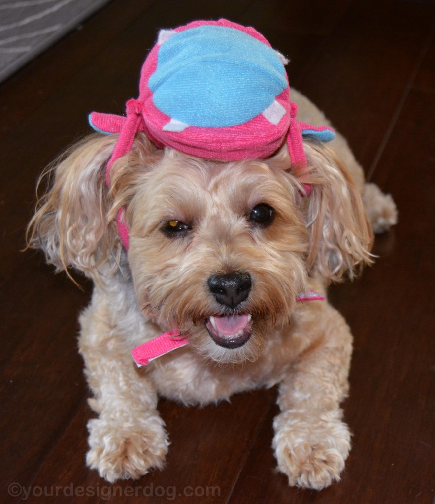 dogs, designer dogs, yorkipoo, yorkie poo, dog smiling, dog costume, hungry hungry hippos