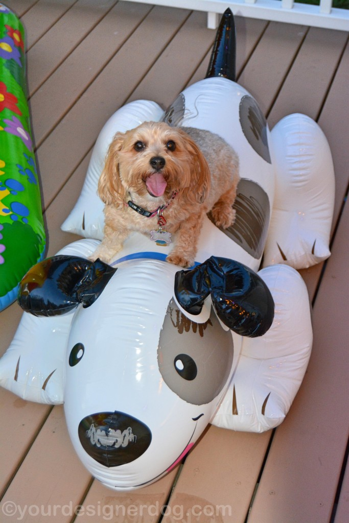 dogs, designer dogs, yorkipoo, yorkie poo, pool toy, big dog