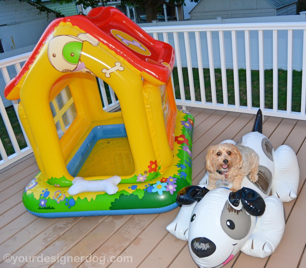 dogs, designer dogs, yorkipoo, yorkie poo, pool toy, big dog