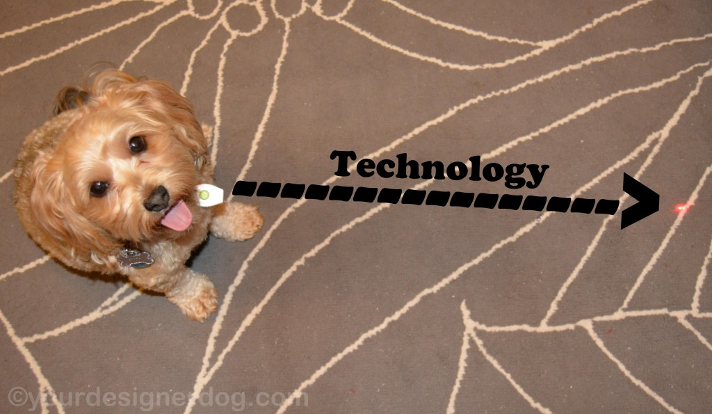 dogs, designer dogs, yorkipoo, yorkie poo, laser light, technology, tongue out
