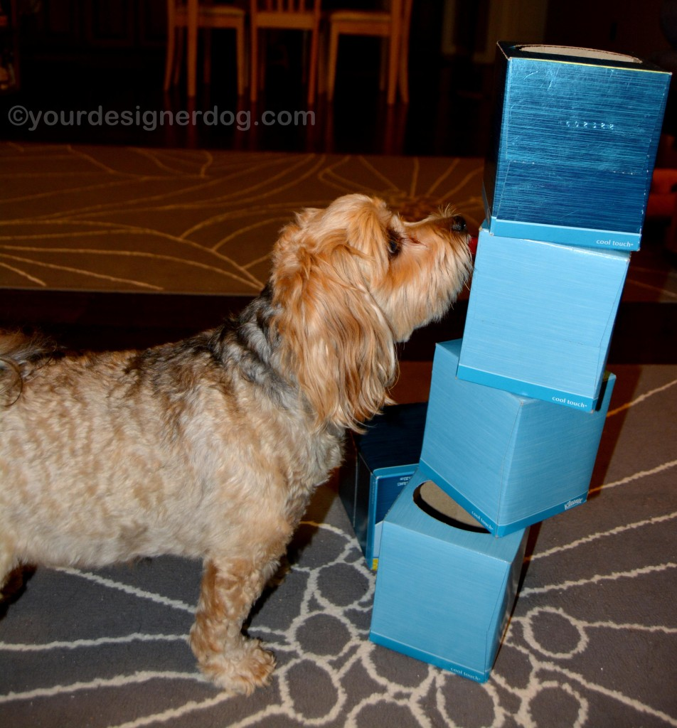 dogs, designer dogs. yorkipoo, yorkie poo, tissue boxes, tower game