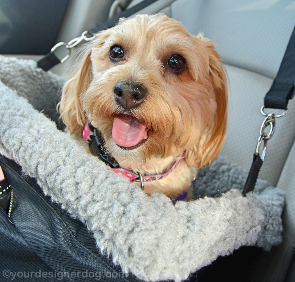 dogs, designer dogs, yorkipoo, yorkie poo, car seat, tongue out