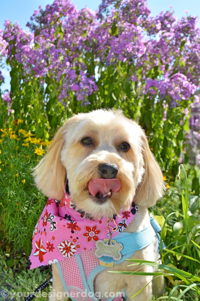 dogs, designer dogs, yorkipoo, yorkie poo, flowers, tongue out