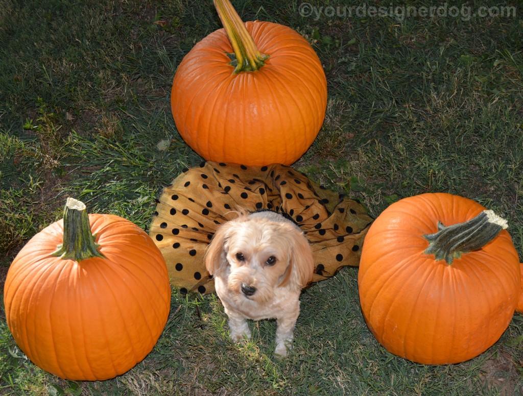 dogs, designer dogs, yorkipoo, yorkie poo, pumpkin, dog smiling, dog tutu, halloween