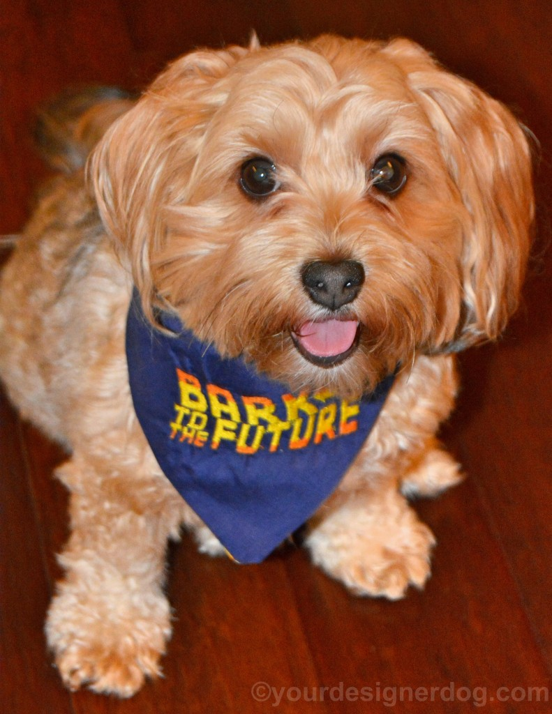 dogs, designer dogs, yorkipoo, yorkie poo, back to the future