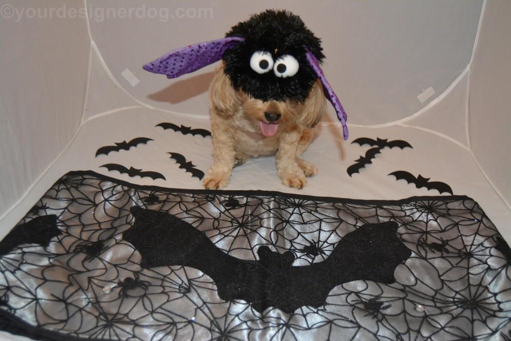 dogs, designer dogs, yorkipoo, yorkie poo, halloween, costume, bat