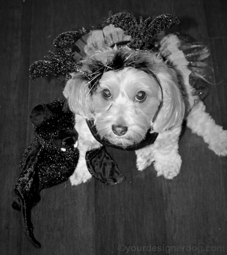 dogs, designer dogs, yorkipoo, yorkie poo, black and white photography, bats, Halloween