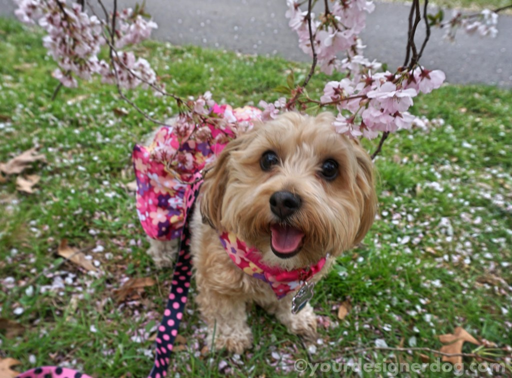 dogs, designer dogs, yorkipoo, yorkie poo, tongue out, flowers, cherry blossoms