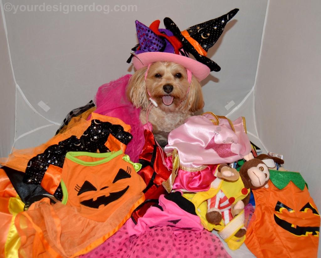 dogs, designer dogs, yorkipoo, yorkie poo, costumes, Halloween