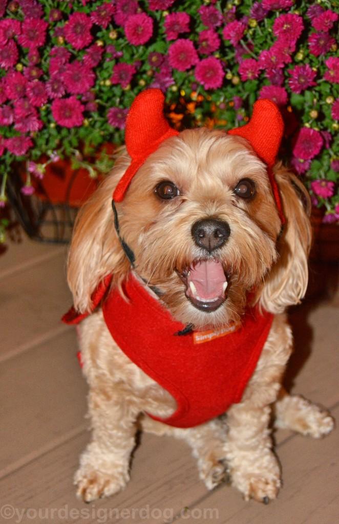 dogs, designer dogs, yorkipoo, yorkie poo, devil, Halloween, costume