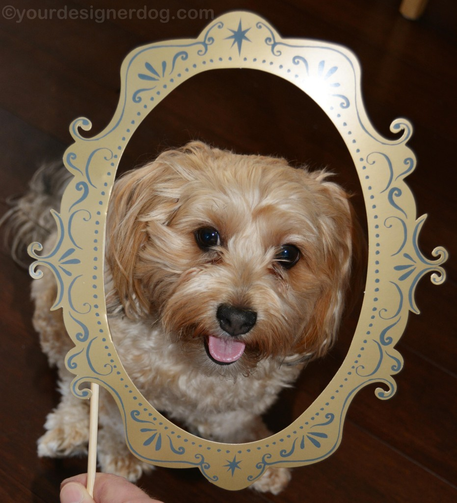 dogs, designer dogs, yorkipoo, yorkie poo, frame, tongue out