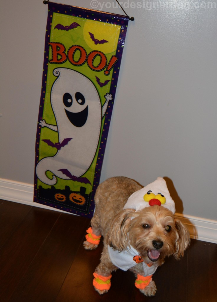 dogs, designer dogs, yorkipoo, yorkie poo, ghost, dog costume, halloween