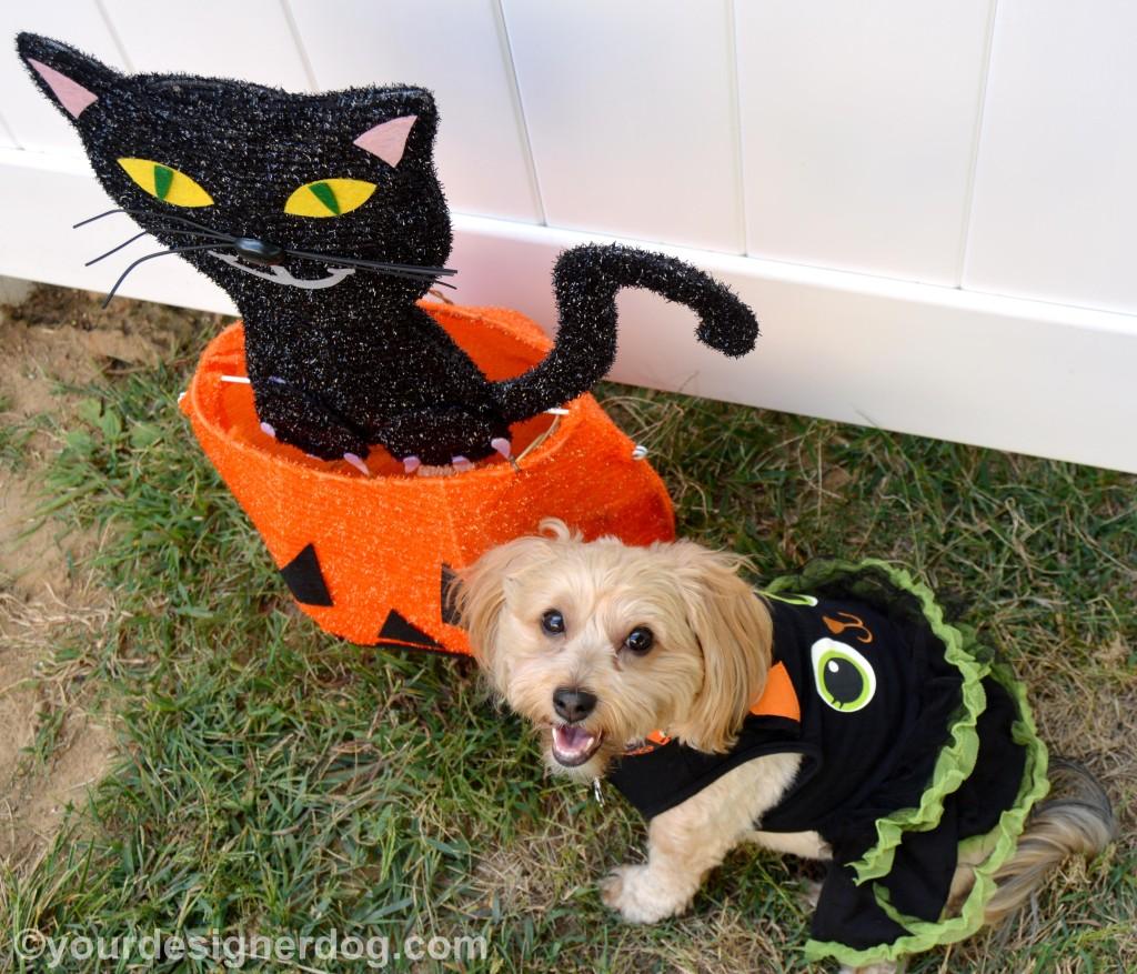 dogs, designer dogs, yorkipoo, yorkie poo, black cat, halloween