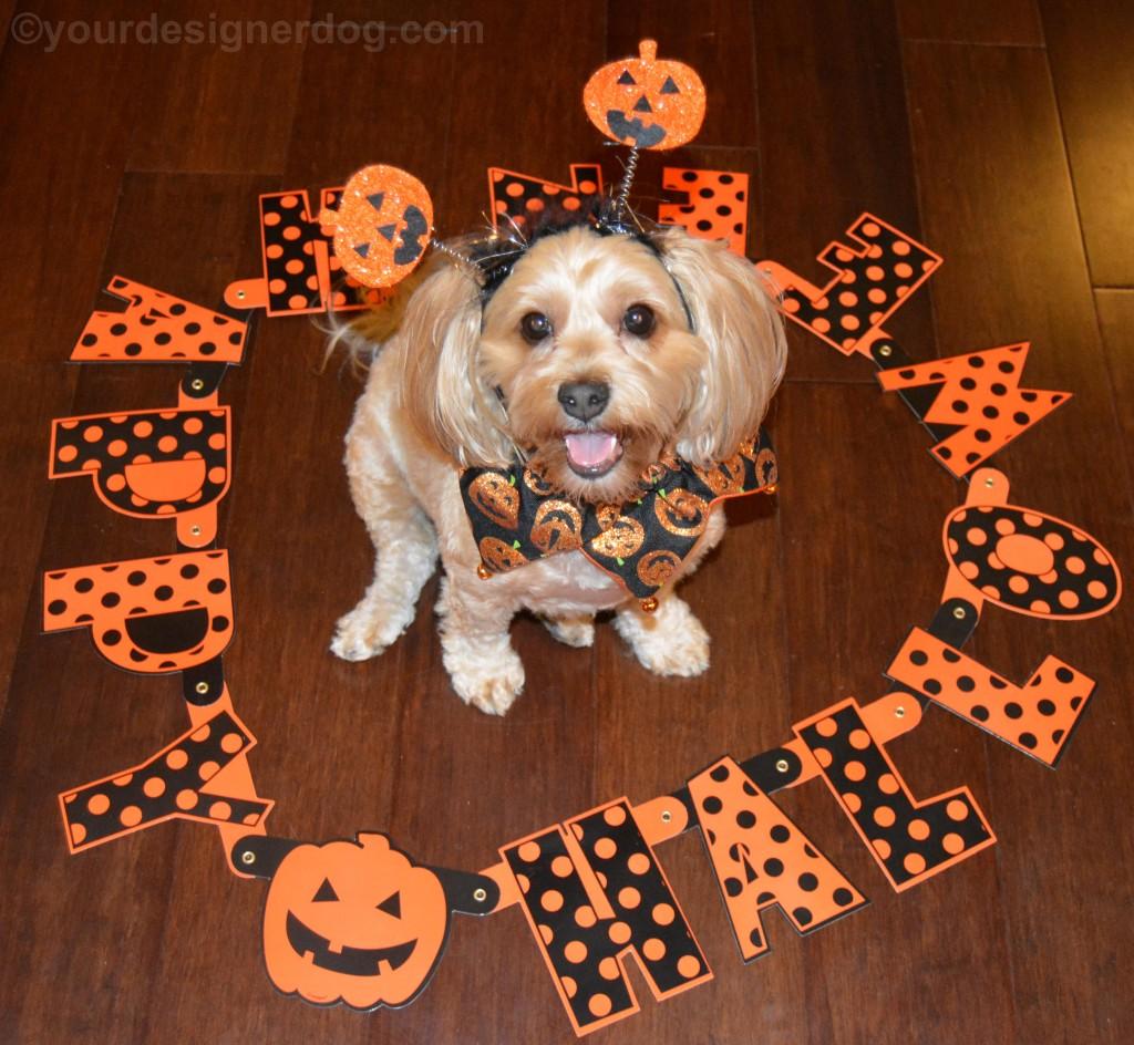 dogs, designer dogs, yorkipoo, yorkie poo, halloween