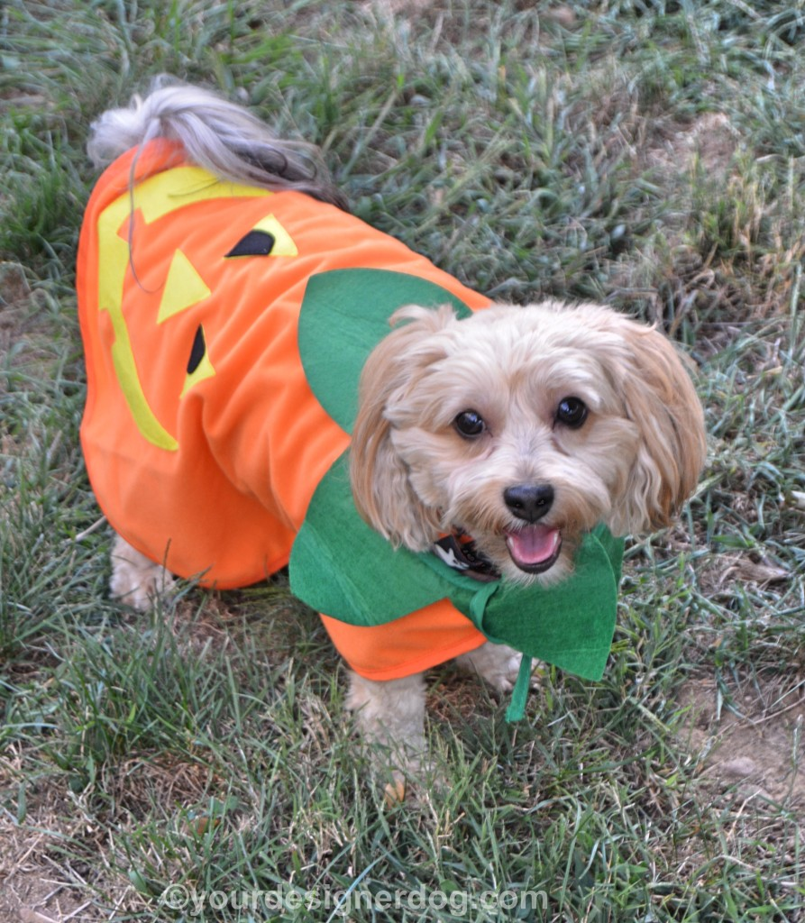 dogs, designer dogs, yorkipoo, yorkie poo, halloween, pumpkin, tongue out