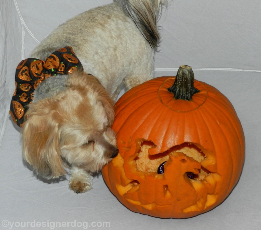 dogs, designer dogs, yorkipoo, yorkie poo, pumpkin, jack-o-lantern, halloween