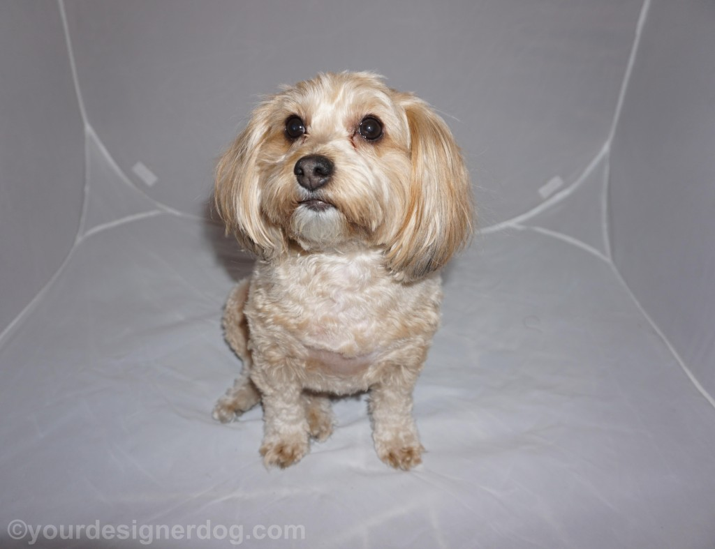 dogs, designer dogs, yorkipoo, yorkie poo, photo shoot, close up