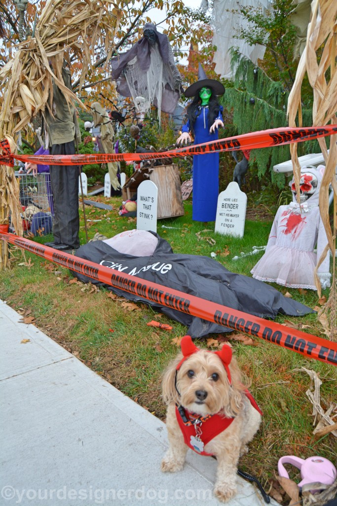 dogs, designer dogs, yorkipoo, yorkie poo, halloween, decorations, devil costume