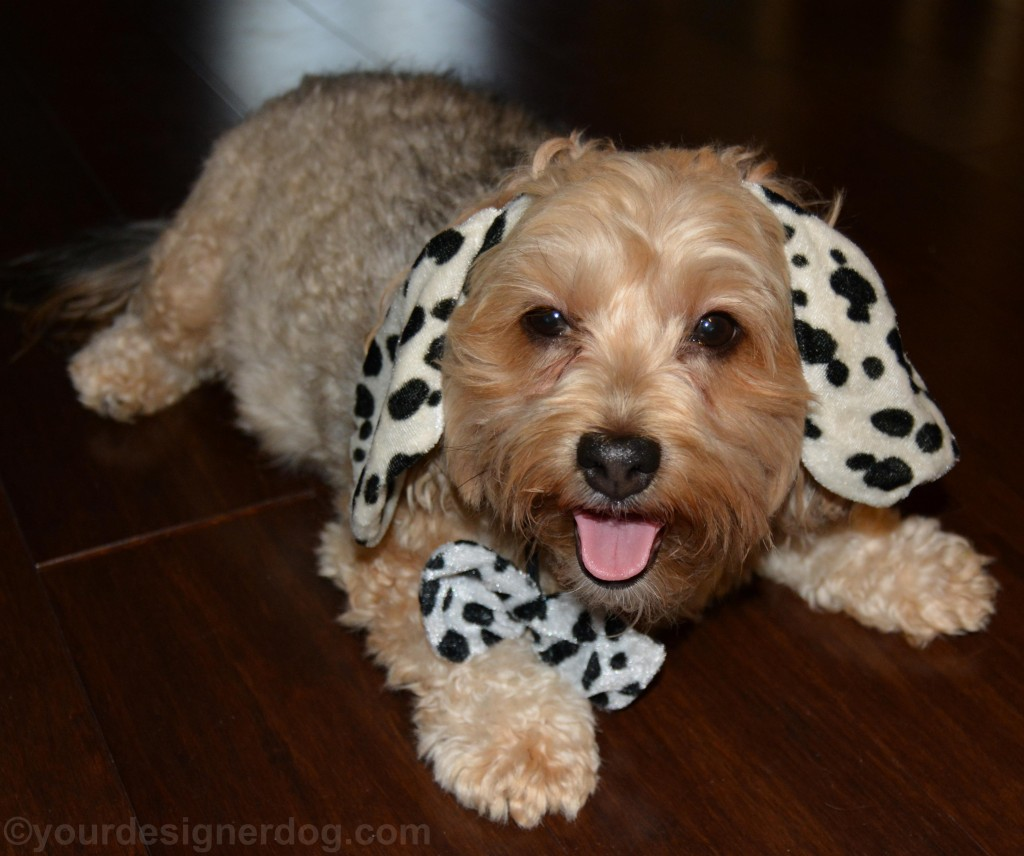 dogs, designer dogs, yorkipoo, yorkie poo, tongue out, dalmatian, halloween costume