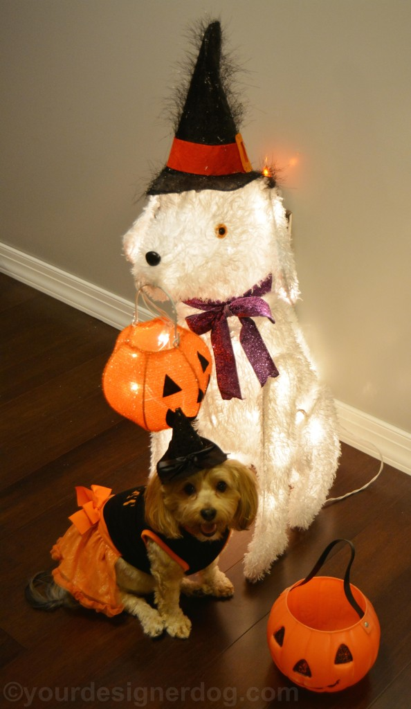 dogs, designer dogs, yorkipoo, yorkie poo, halloween, trick or treat, buddy system, witch costume, jack-o-lantern