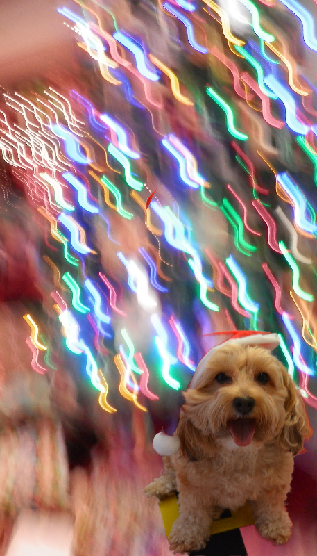 dogs, designer dogs, yorkipoo, yorkie poo, bokeh, Christmas, holiday lights