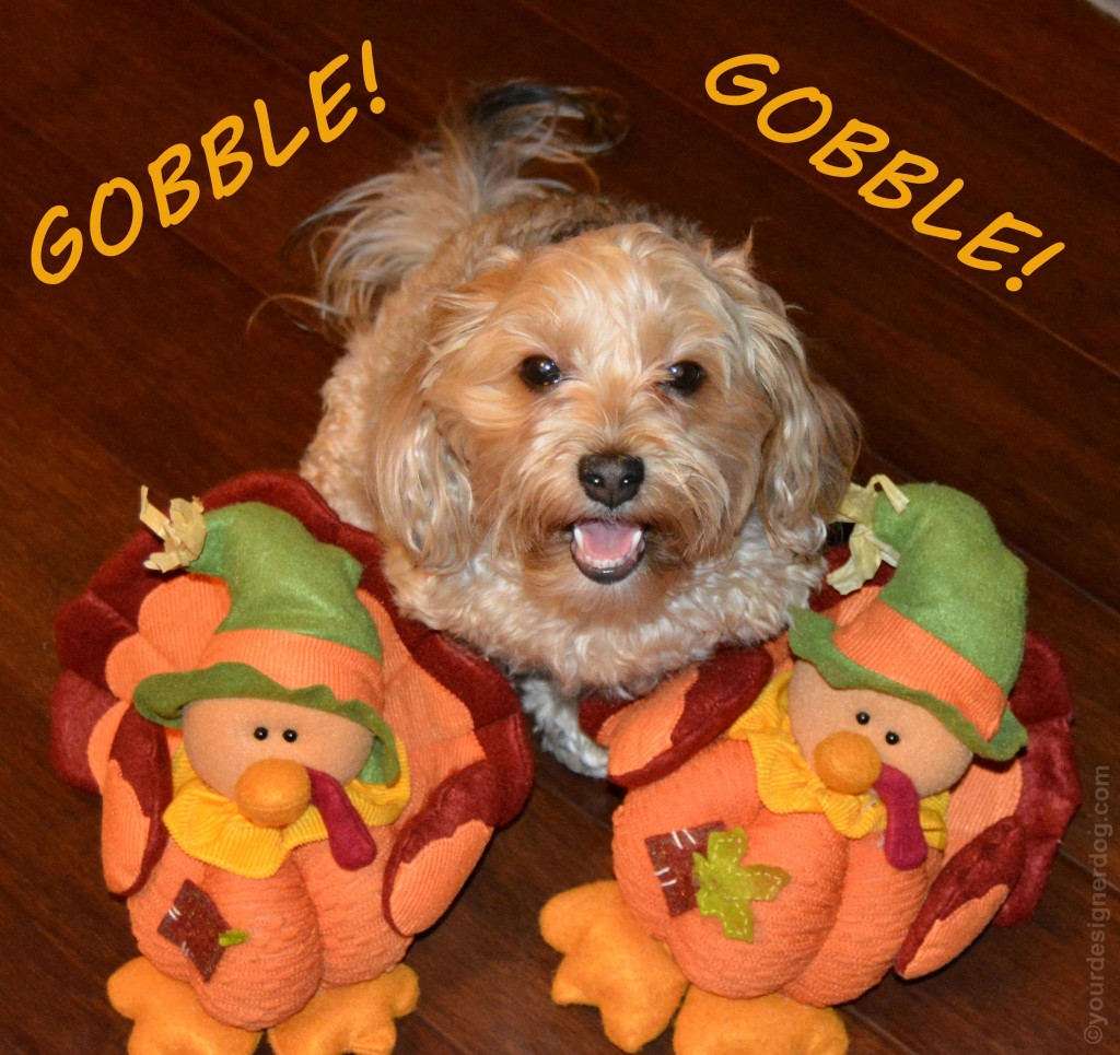 dogs, designer dogs, yorkipoo, yorkie poo, turkey, gobble, turkey day, thanksgiving