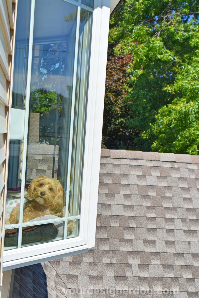 dogs, designer dogs, yorkipoo, yorkie poo, doggy in the window