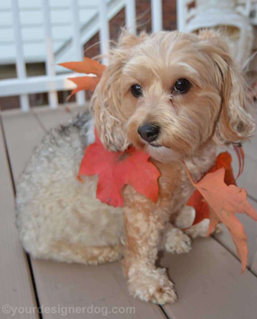 dogs, designer dogs, yorkipoo, yorkie poo, leaves, fall, diy necklace