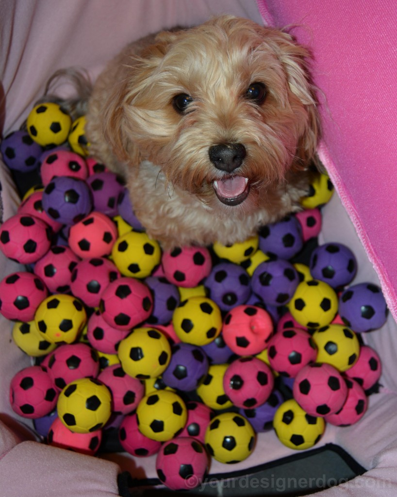 dogs, designer dogs, yorkipoo, yorkie poo, dog toy, squeaky ball
