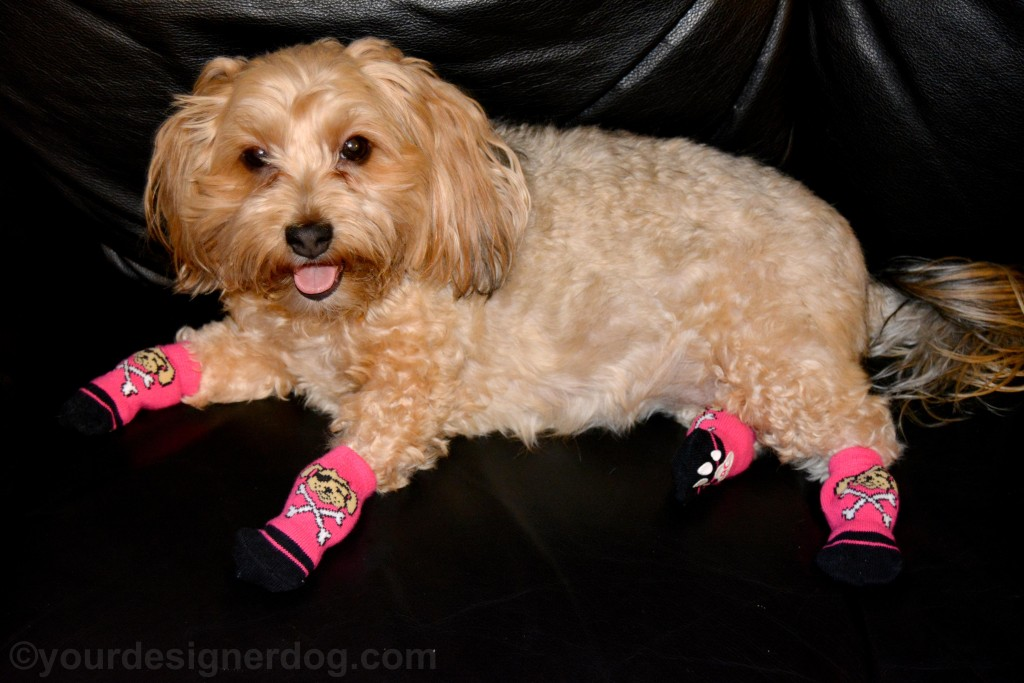 dogs, designer dogs, yorkipoo, yorkie poo, socks, cold weather