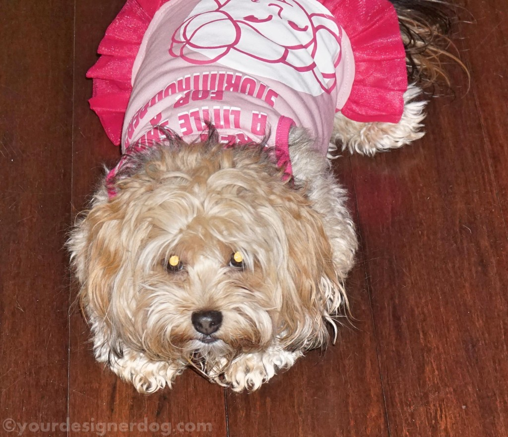 dogs, designer dogs, yorkipoo, yorkie poo, dog dress, star wars, princess leia