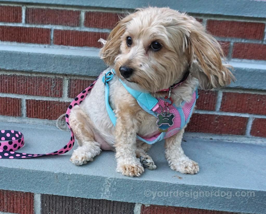 dogs, designer dogs, yorkipoo, yorkie poo, stairs, bricks