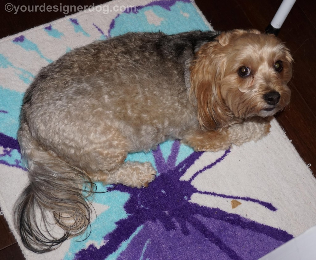 dogs, designer dogs, yorkipoo, yorkie poo, butterfly