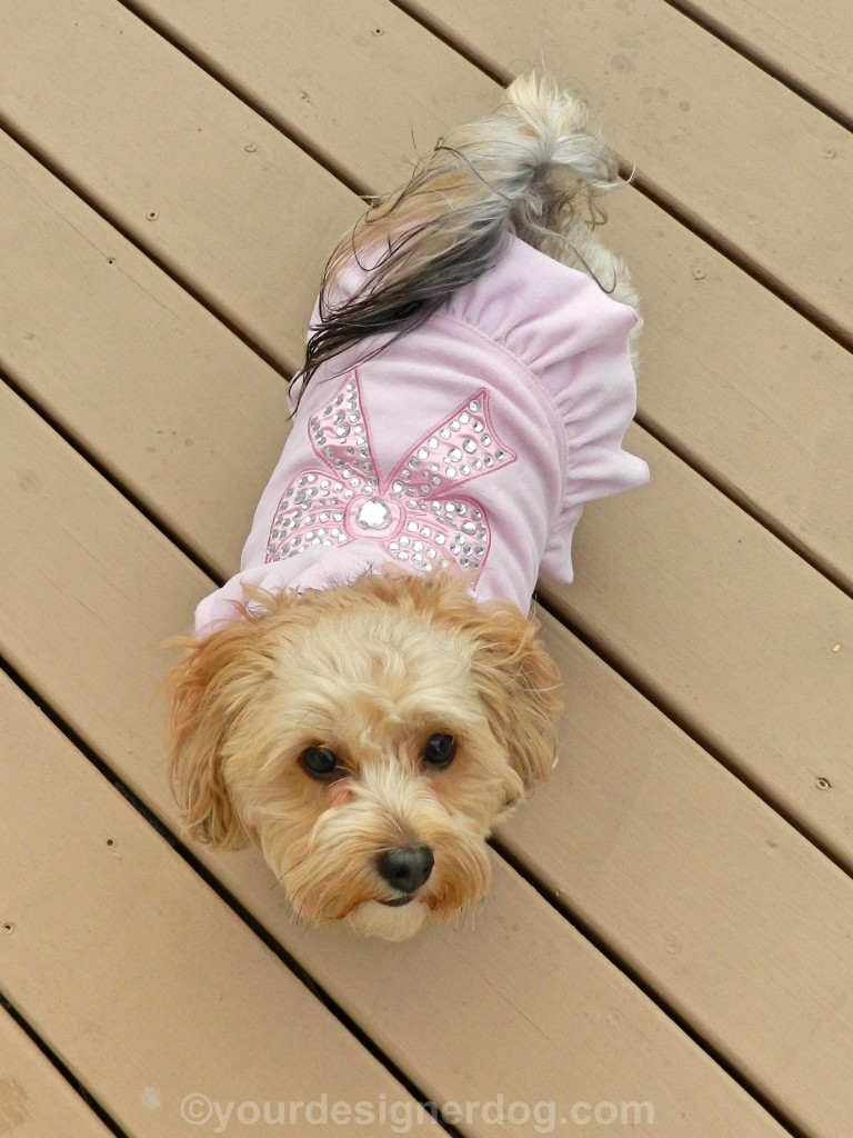 dogs, designer dogs, yorkipoo, yorkie poo, dog dress, dog clothes