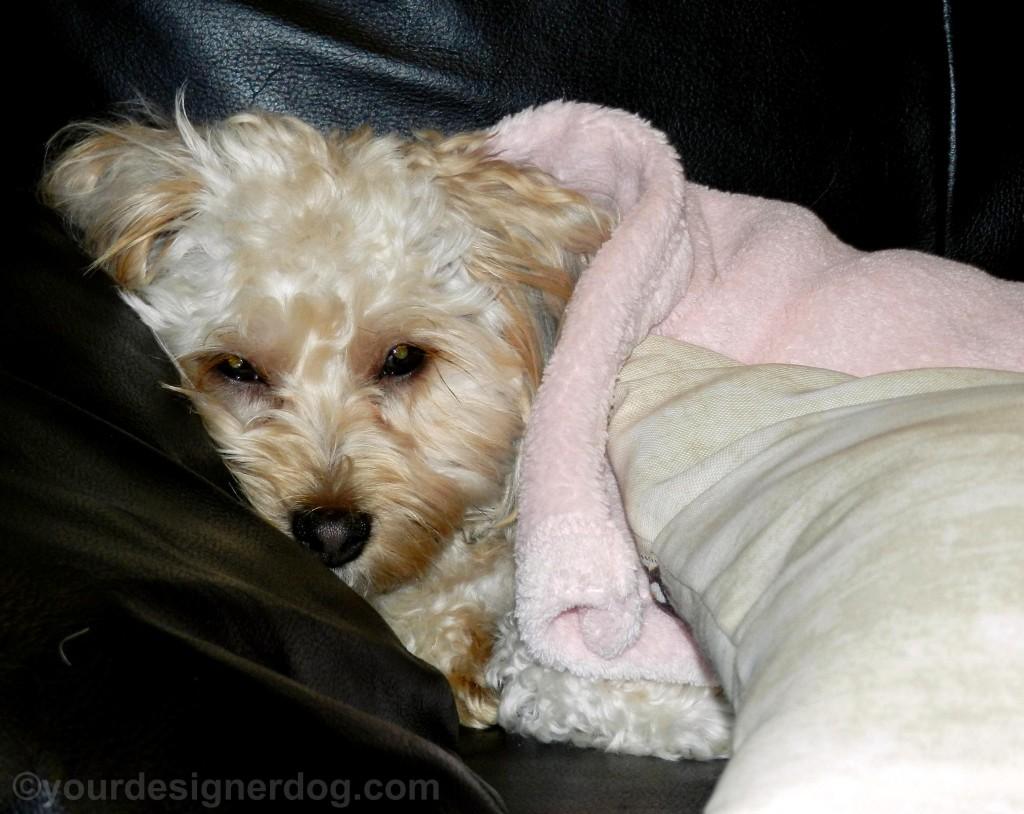 dogs, designer dogs, yorkipoo, yorkie poo, snuggle, dog blanket
