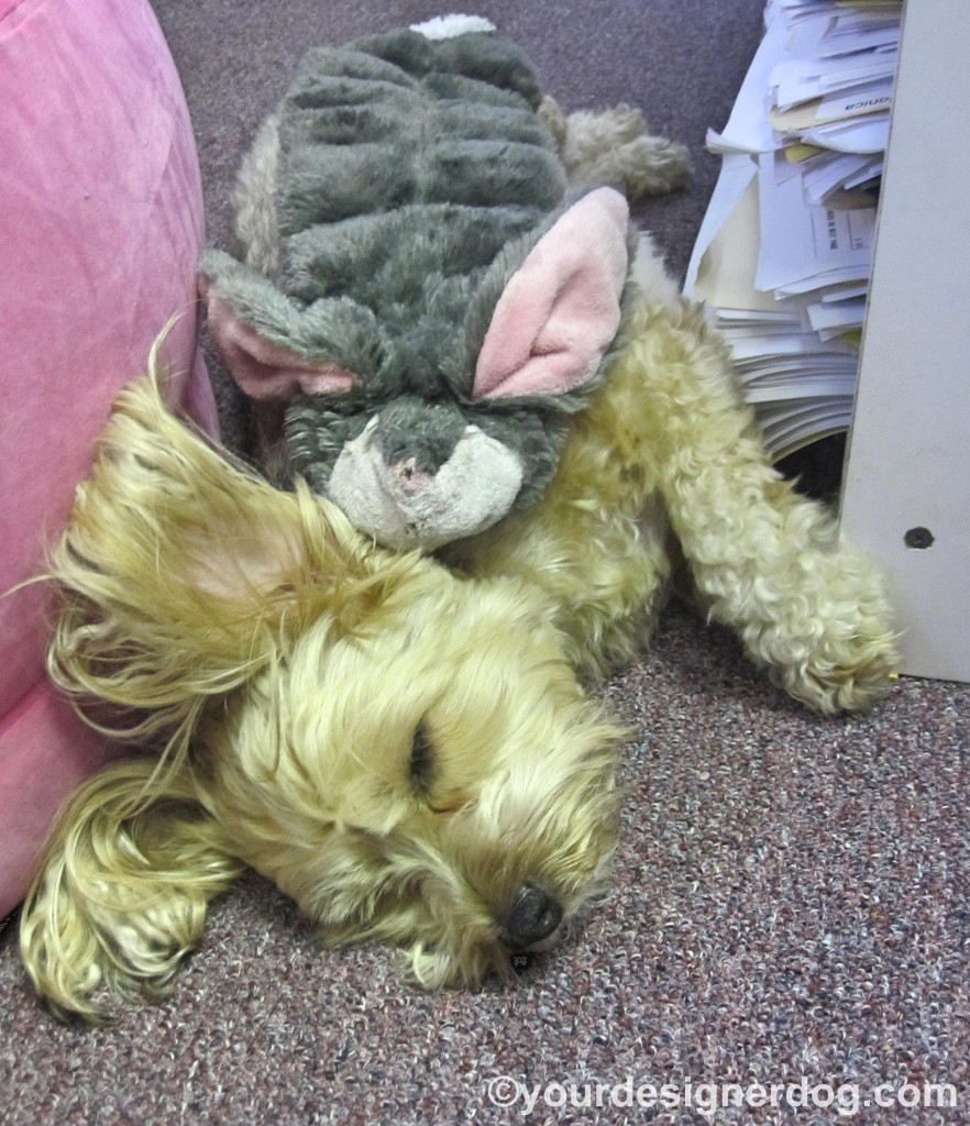 dogs, designer dogs, yorkipoo, yorkie poo, sleepy puppy, bunny, dog toy, stuffed toy