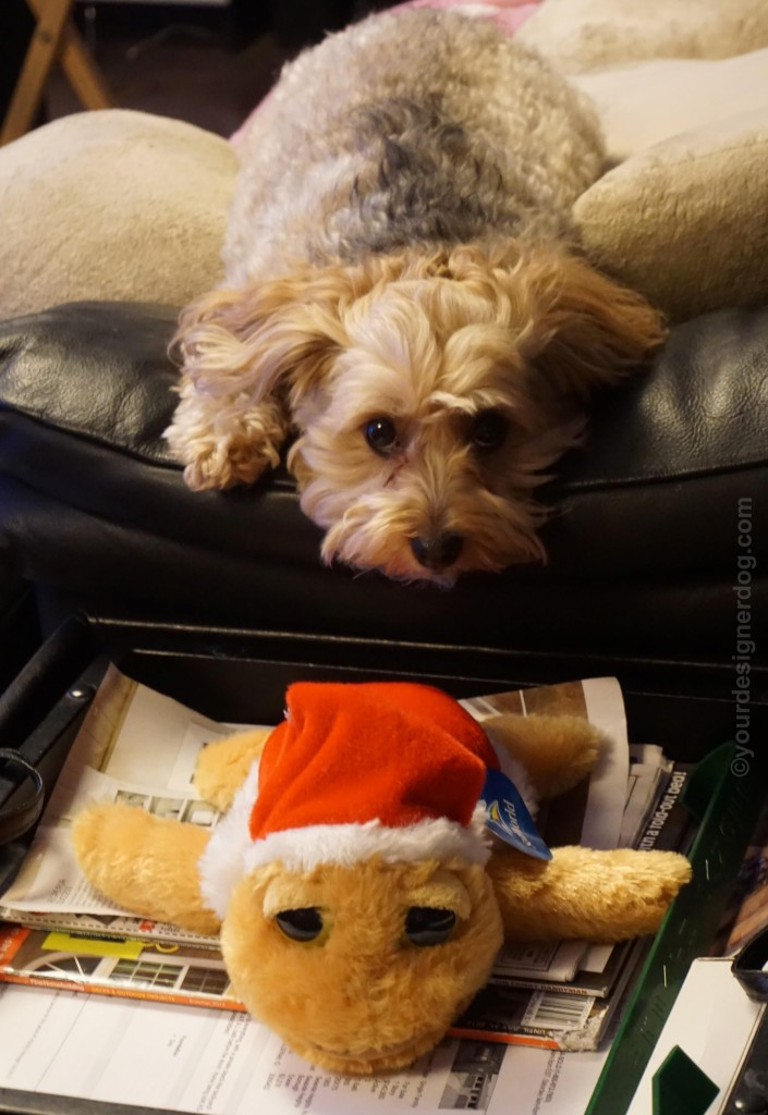 dogs, designer dogs, yorkipoo, yorkie poo, santa hat, turtle, stuffed animal