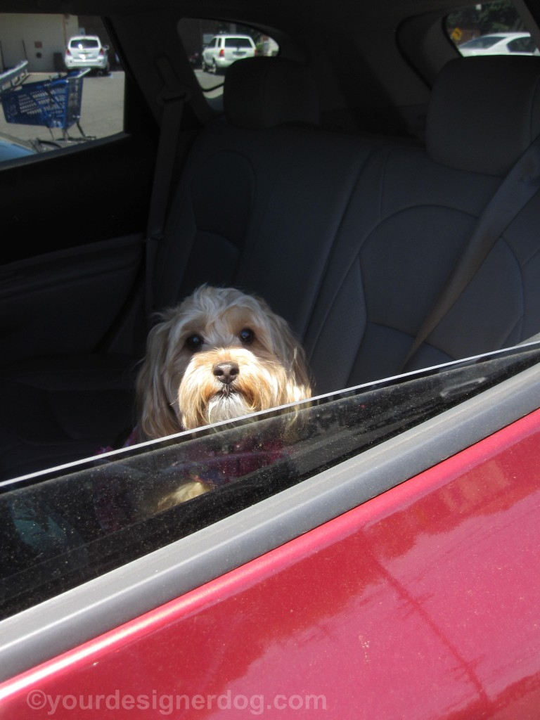 dogs, designer dogs, yorkipoo, yorkie poo, car, waiting