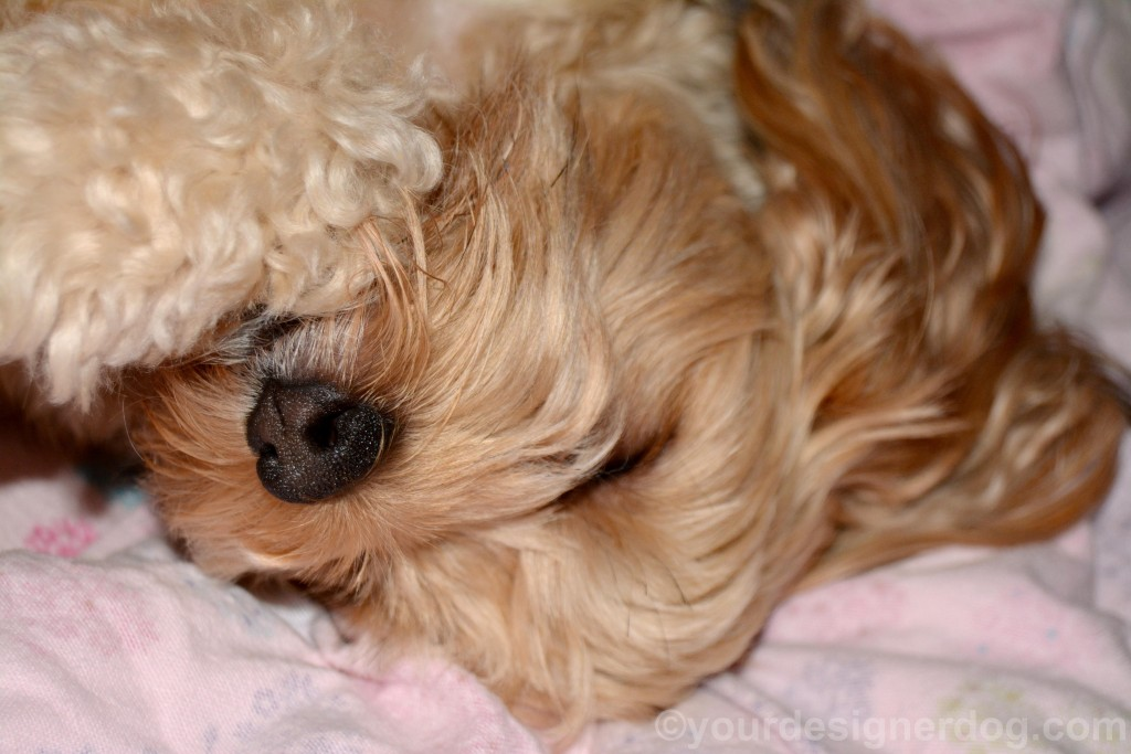 dogs, designer dogs, yorkipoo, yorkie poo, sleepy puppy