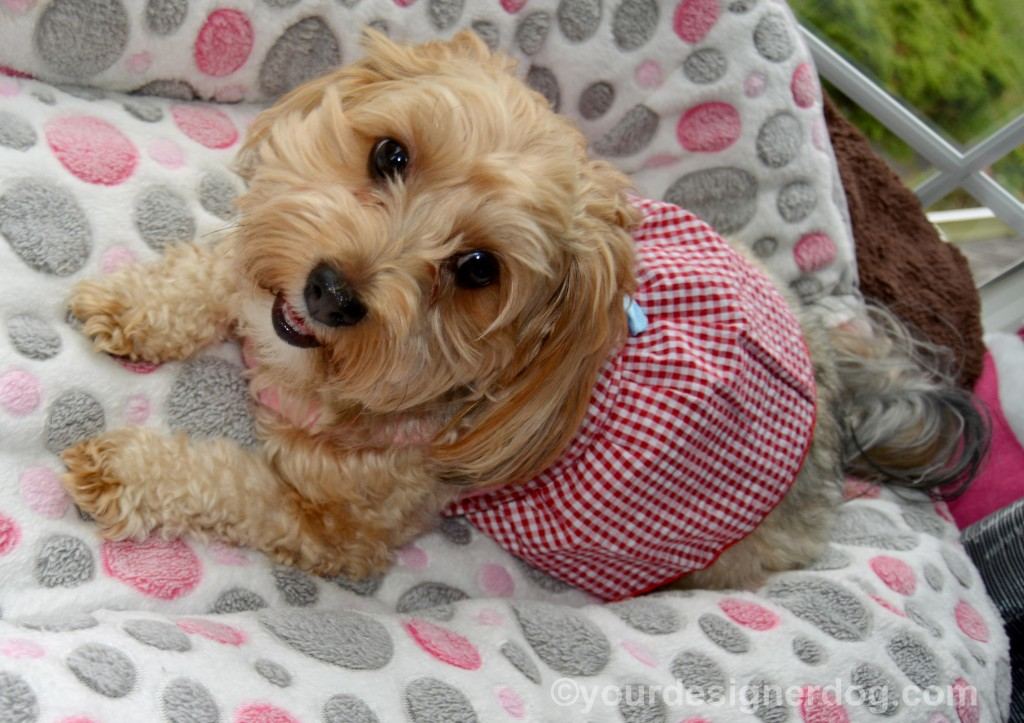 dogs, designer dogs, yorkipoo, yorkie poo, dog smiling, dog dress