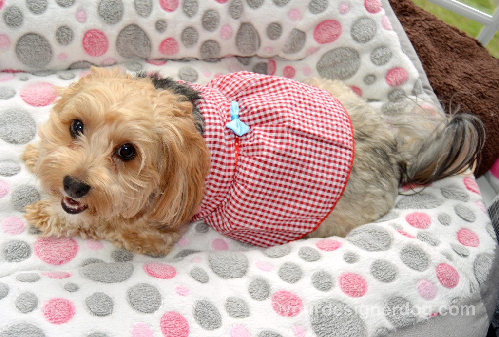 dogs, designer dogs, yorkipoo, yorkie poo, dog smiling, dog dress