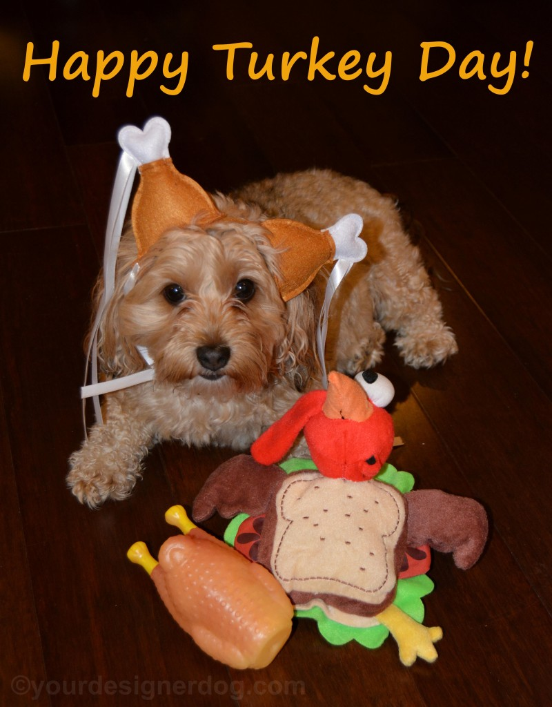 dogs, designer dogs, yorkipoo, yorkie poo, turkey day, turkey, thanksgiving