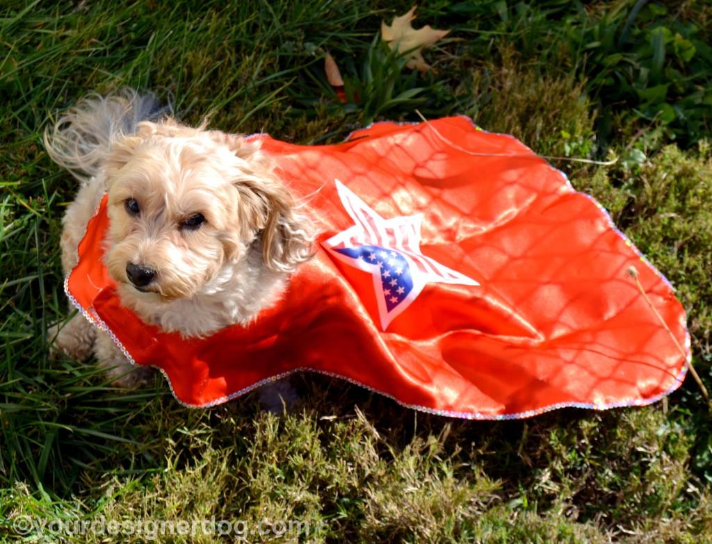 dogs, designer dogs, yorkipoo, yorkie poo, cape, patriotic, veterans, superheroes